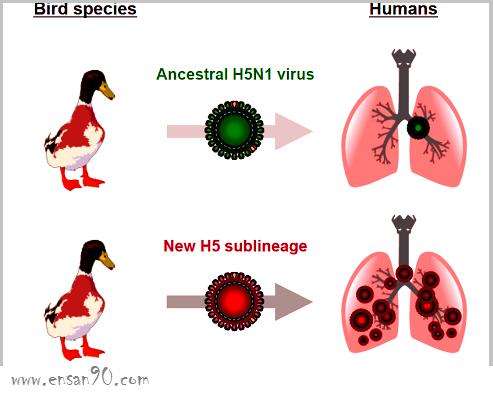 إنفلونزا الطيور - الاسباب والاعراض والعلاج