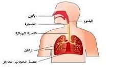 الربو / مكونات الجهاز التنفسي